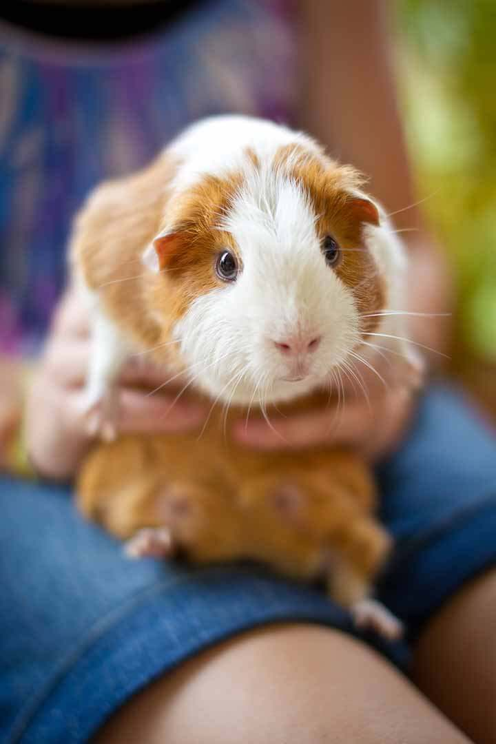Guinea Pig Being Held By Girl Outdoors